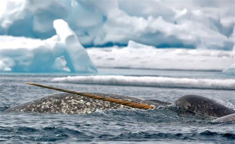 Are Narwhals Endangered? Here Are Some Facts   Arctic Kingdom
