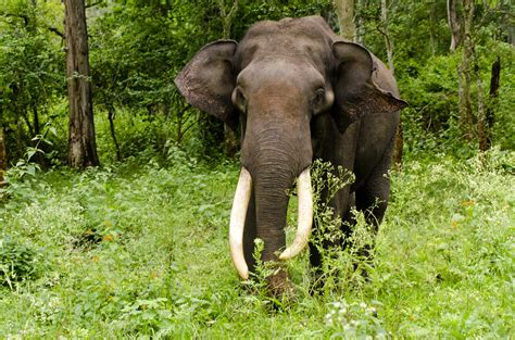 Asiatic elephant (Elephas maximus)   The Asian or Asiatic