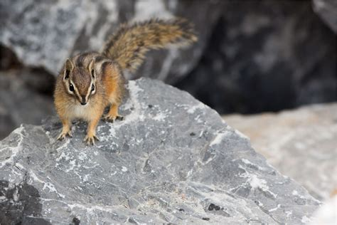 Red-tailed chipmunks on the rocks   Christopher Martin