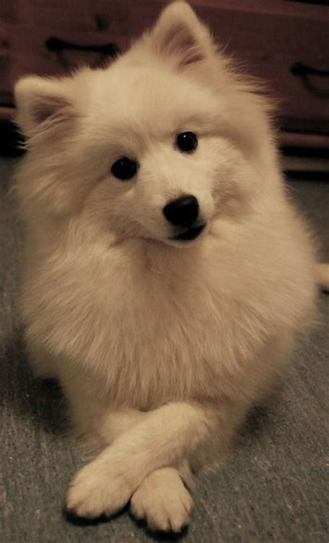 111+ Best Japanese Spitz Dog Names – The Paws