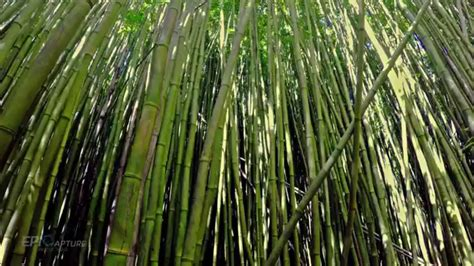 4k Hawaii - Bamboo Forest (no music) - YouTube