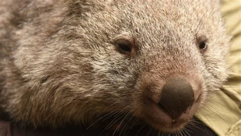 Angry wombat put down after harassing residents in