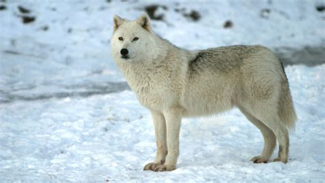 Types of Wolves   Living with Wolves Fundraising