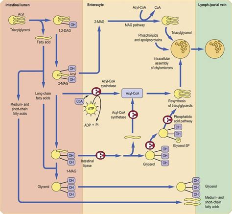 Digestion and Absorption of Nutrients - Medical Biochemistry