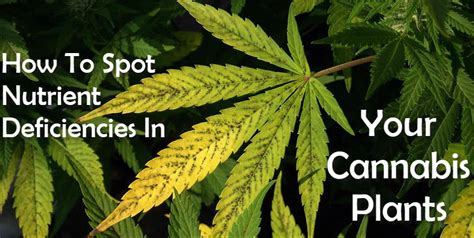 How To Spot Nutrient Deficiencies In Your Cannabis Plants