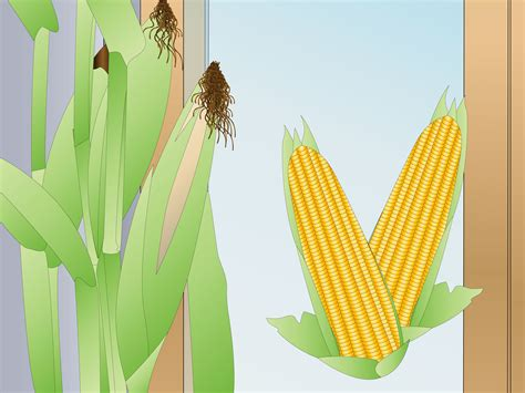 How to Grow Corn Indoors: 10 Steps (with Pictures) - wikiHow