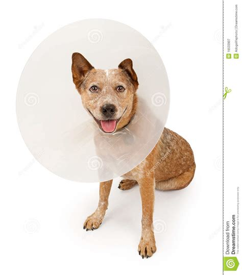 Queensland Heeler Dog Wearing A Cone Royalty Free Stock
