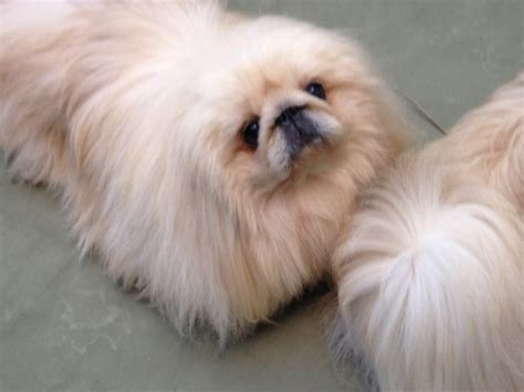 Ice Cream and Dogs: Is it Good for your Pekingese?