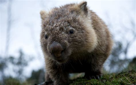 Wombat Wallpapers High Quality   Download Free