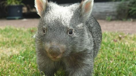 Orphan baby wombat George named Australia's most adorable