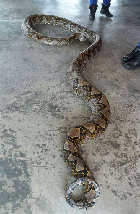 Is this the world's longest snake? Huge 26ft python found
