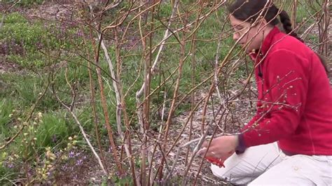 How to prune a blueberry bush - YouTube