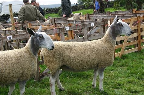59 best Sheep images on Pinterest | Sheep, Black sheep and